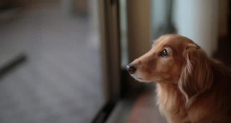 picture of a dachshund