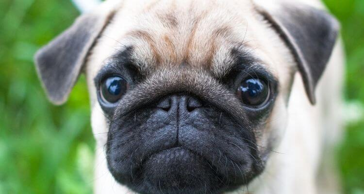 picture of a pug