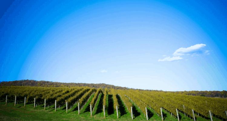 Beautiful vineyard view in Charlottesville, Virginia