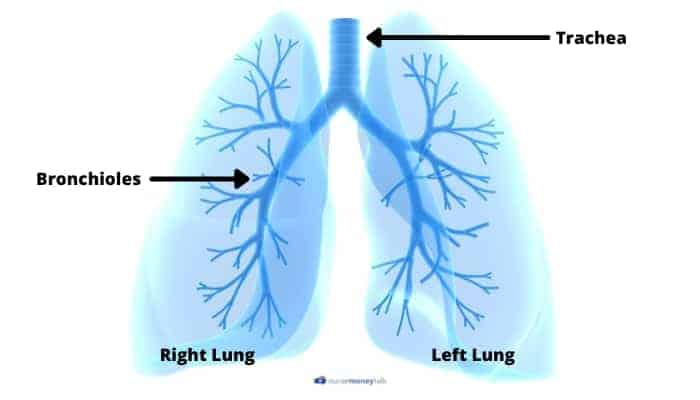 lung parts that are labeled